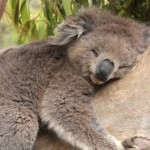 Ученые выяснили, почему коалы обнимают деревья