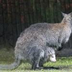 Ученые решили классифицировать кенгуру как пятиногих животных