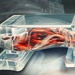 Ученые создают биологических роботов на основе мышечных клеток
