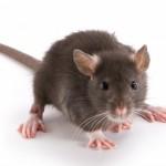 Ученые сделали мышь прозрачной