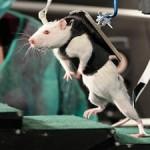 Парализованных крыс научили ходить по ступенькам