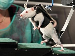paralyzed-rats_300x225