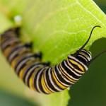 Растения «слышат», что их едят насекомые