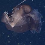 Глубоководного монстра впервые сняли в естественной среде обитания