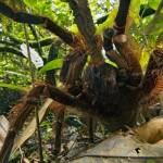 Ученый столкнулся в лесу с пауком размером со щенка