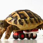 Черепахе сделали инвалидную коляску из конструктора LEGO