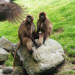 Ученые «перевели» язык обезьян на английский