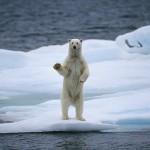 Белые медведи ищут пару по отпечатку лапы