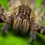 Яд бразильских странствующих пауков может заменить «Виагру»