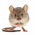Мышам привили ложные приятные воспоминания